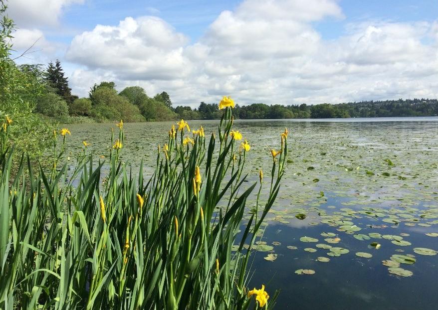 Green Lake irises