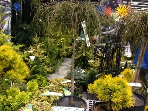 With a shape like this, who needs flowers?  Weirdly wonderful conifers at the Northwest Flower and Garden Show Image, Erica Grivas