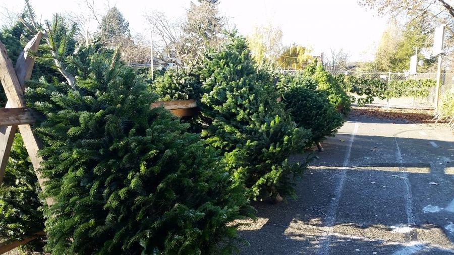 unsheared christmas tree artificial