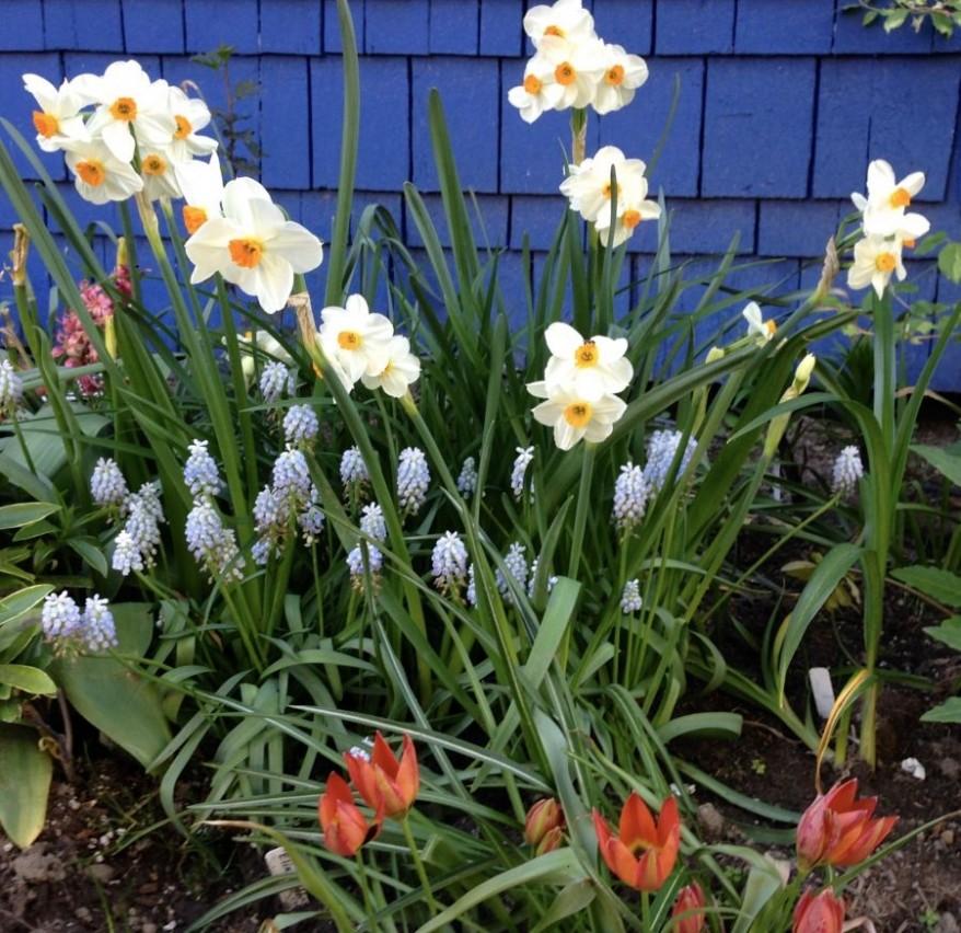 Narcissus 'Geranium', Muscari 'Valerie Finnis' and a species tulip Image: Erica Grivas
