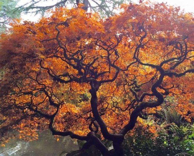 Kubota Gardens' star Japanese Maple